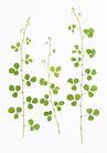 叶子和绿叶0176,叶子和绿叶,植物,3枝 高矮 嫩叶