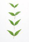 叶子和绿叶0177,叶子和绿叶,植物,比较 过程 发育