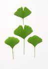 叶子和绿叶0178,叶子和绿叶,植物,4片 扇形 菏叶