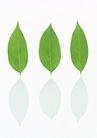 叶子和绿叶0180,叶子和绿叶,植物,椭圆形 樟树叶 气味