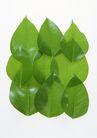 叶子和绿叶0183,叶子和绿叶,植物,绿叶 椭圆形叶子