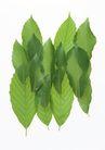 叶子和绿叶0184,叶子和绿叶,植物,叶脉 大小