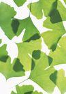 叶子和绿叶0188,叶子和绿叶,植物,银杏叶 扇形叶