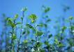 新绿叶0147,新绿叶,植物,