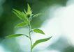 新绿叶0153,新绿叶,植物,