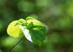 新绿叶0162,新绿叶,植物,