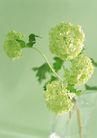 素雅鲜花0165,素雅鲜花,植物,绿色的花