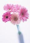 素雅鲜花0167,素雅鲜花,植物,粉色雏菊