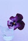 素雅鲜花0173,素雅鲜花,植物,紫色 浪漫 2朵