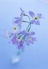素雅鲜花0178,素雅鲜花,植物,牵年花 喇叭花 美丽