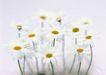 素雅鲜花0184,素雅鲜花,植物,素雅花朵