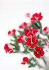 素雅鲜花0188,素雅鲜花,植物,红叶 植物
