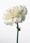 花卉造型0151,花卉造型,植物,白色的花