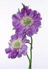 花卉造型0154,花卉造型,植物,紫色花盘