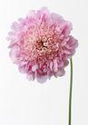花卉造型0155,花卉造型,植物,粉色的花
