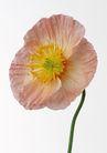 花卉造型0160,花卉造型,植物,花卉插画