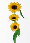 花卉造型0163,花卉造型,植物,几朵向日葵
