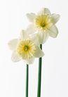 花卉造型0172,花卉造型,植物,直立 白色 2朵