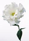 花卉造型0183,花卉造型,植物,白色康乃馨