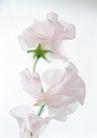 花的彩绘0158,花的彩绘,植物,淡色花瓣