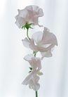 花的彩绘0159,花的彩绘,植物,浅色花儿