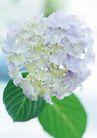 花的彩绘0171,花的彩绘,植物,叶子两片 一大朵 漂亮
