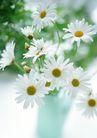 花的彩绘0181,花的彩绘,植物,小白菊 国庆小菊