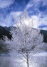 茂盛树木0171,茂盛树木,植物,冰冻 蓝天白云 滑倒