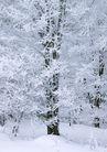 茂盛树木0174,茂盛树木,植物,雪松 安静 雪白