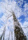 茂盛树木0179,茂盛树木,植物,杉树 下雪 雪花