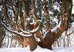 茂盛树木0189,茂盛树木,植物,冬雪 古树