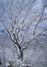 茂盛树木0195,茂盛树木,植物,雪枝