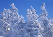 茂盛树木0200,茂盛树木,植物,厚雪