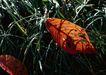 迷人的大自然0175,迷人的大自然,植物,兰花草 红色 韭菜