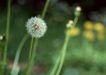 迷人的大自然0180,迷人的大自然,植物,毛球 一个 模糊