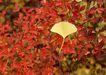 迷人的大自然0199,迷人的大自然,植物,银杏叶