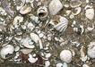 化石0179,化石,静物,池塘 贝壳 树叶