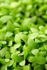 新芽嫩叶0075,新芽嫩叶,鲜花,叶子 青菜 蔬菜