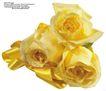 玫瑰花束0065,玫瑰花束,鲜花,