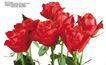 玫瑰花束0074,玫瑰花束,鲜花,红玫瑰 Rose 养花