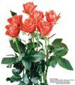 玫瑰花束0076,玫瑰花束,鲜花,香艳 叶子 开花