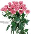 玫瑰花束0077,玫瑰花束,鲜花,月季 鲜花 绿叶