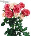 玫瑰花束0078,玫瑰花束,鲜花,白玫瑰 洋红色 叶形