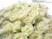 玫瑰花束0081,玫瑰花束,鲜花,白玫瑰