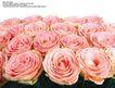 玫瑰花束0083,玫瑰花束,鲜花,娇嫩玫瑰