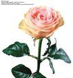 玫瑰花束0086,玫瑰花束,鲜花,绿叶映衬