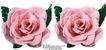 玫瑰花束0089,玫瑰花束,鲜花,两朵花