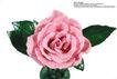 玫瑰花束0090,玫瑰花束,鲜花,粉色花瓣