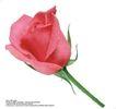 玫瑰花束0094,玫瑰花束,鲜花,花苞 花托 红色