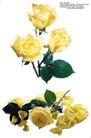 玫瑰花束0096,玫瑰花束,鲜花,黄玫瑰 叶子 枝条
